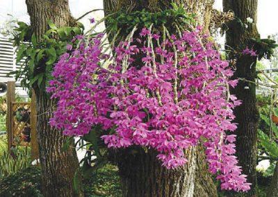 Specimum plant dendrobium
