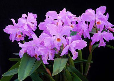 Specimum plant cattleya