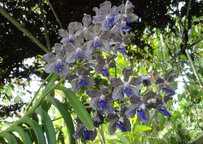Vanda Tessellata hybrid photo by Jardin Boricua